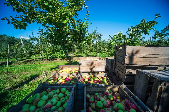 Récolte de pommes à la Casa Breton.