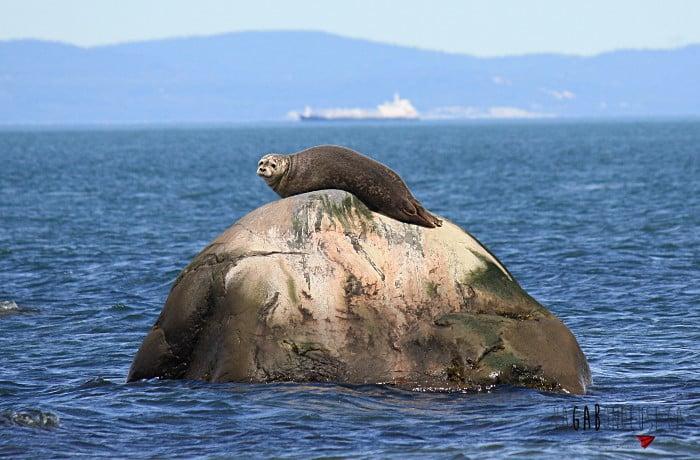 Un phoque surveille les visiteurs tout en se prélassant au soleil.