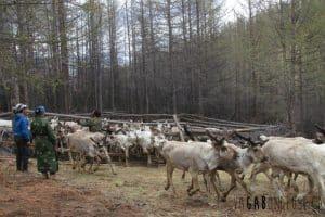 Les rennes sortent de l'enclos