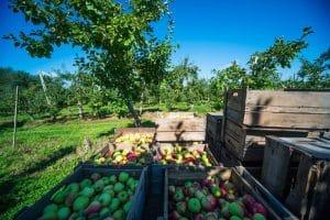 Récolte de pomme à la Casa Breton.