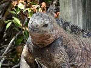 voyage aux galapagos iguane